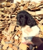 Bretaňský ohař - štěně