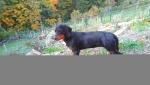 Slovenský kopov - štěně