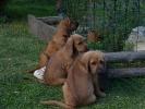 Štýrský brakýř - štěně