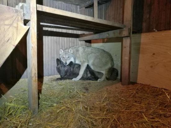 Finsko: Policie rozbila gang ilegálních chovatelů vlků