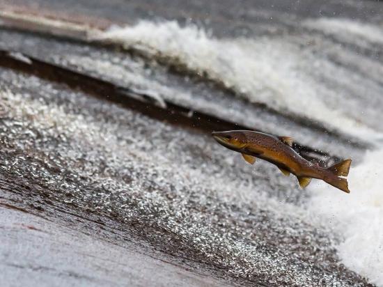 Běhy jelenů mohou prospět populaci lososů