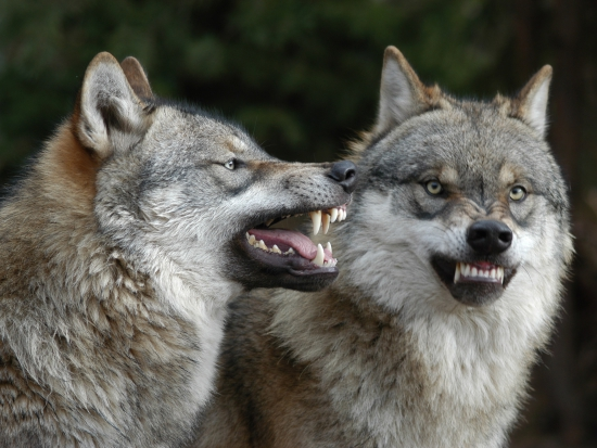 DNA získaná po útoku vlka na člověka je nepoužitelná
