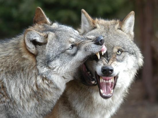 Stát neproplácí škody na spárkaté zvěři způsobené vlkem – Královéhradecké hejtmanství žádá změnu zákona
