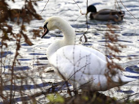 U uhynulých labutí na Písecku byl potvrzen virus ptačí chřipky