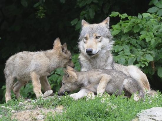Bavorsko odstartovalo výzkum vlivu vlka na spárkatou zvěř