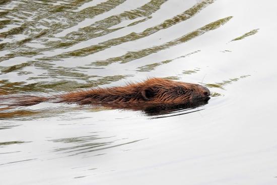 Proč myslivci navrhují použít na bobry a vydry pasti?