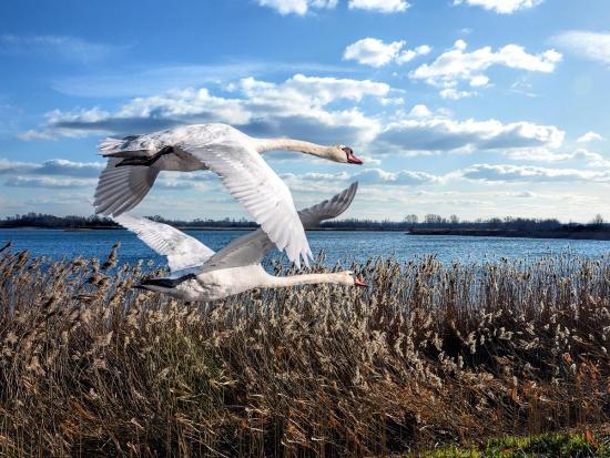 SVS: riziko ptačí chřipky zvyšuje podzimní migrace stěhovavých ptáků