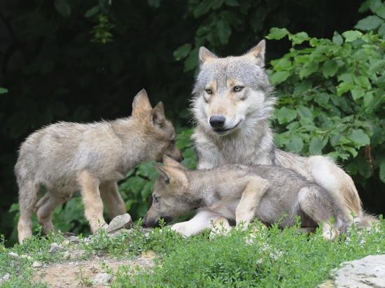 Německo se chystá kvůli útokům na stáda zjednodušit odstřel vlků