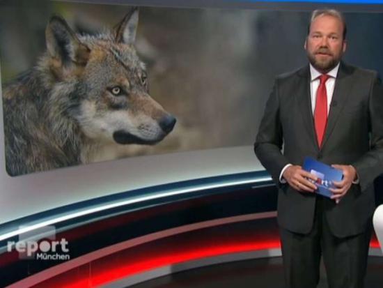 V Německu se objevil nebezpečný trend: Obchod s kříženci psa a vlka roste