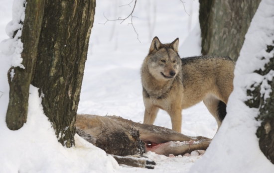 Stručný výčet témat, která jsou v otázce vlků nejdůležitější