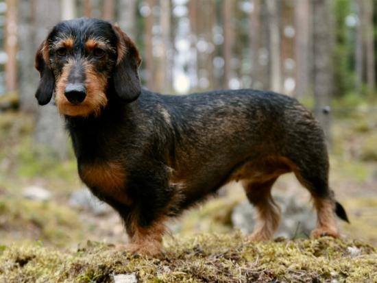 Aujeszkyho chorobou se loni nakazilo 7 psů