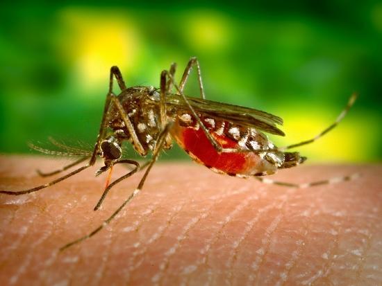 Německo: První člověk byl infikován virem západonilské horečky přenášeným komáry