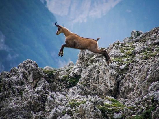 Intenzivní lov škodí populaci kamzíka v Bavorsku, vyplynulo to ze studie