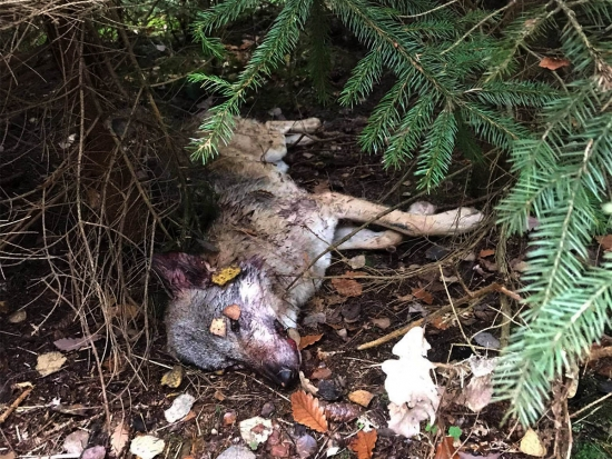 Na Českolipsku byl nalezen uhynulý vlk, patrně ho srazilo auto (aktualizace 10. 11. 2020)