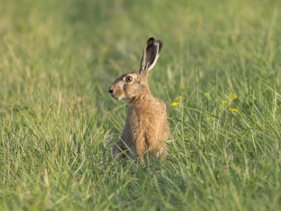 Další případ brucelózy u zajíců na Zlínsku