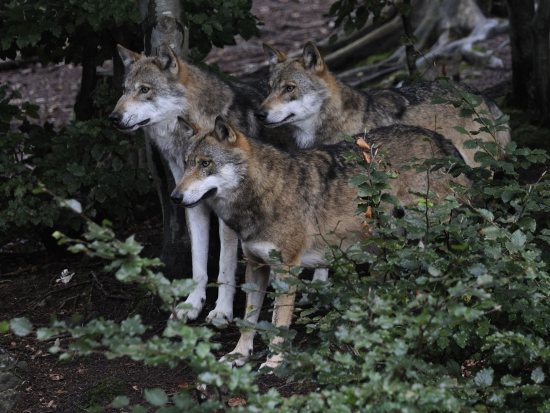 Dolní Rakousko: Vlka lze za určitých podmínek lovit