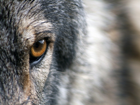 Náhrady škod způsobených vlky se ode dneška rozšířily (ČTK)