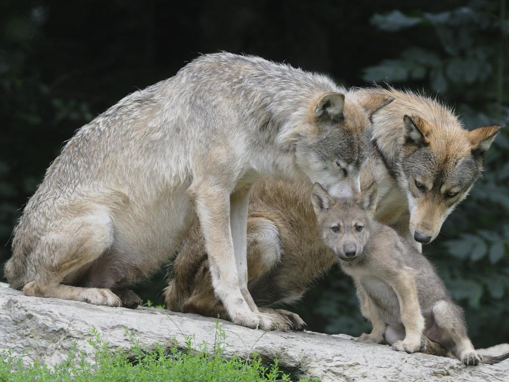 Vlci z okolí Třeboně mají čtyři až pět mláďat  972239fecc