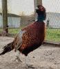 Prodej bažantích kuřat a bažantů